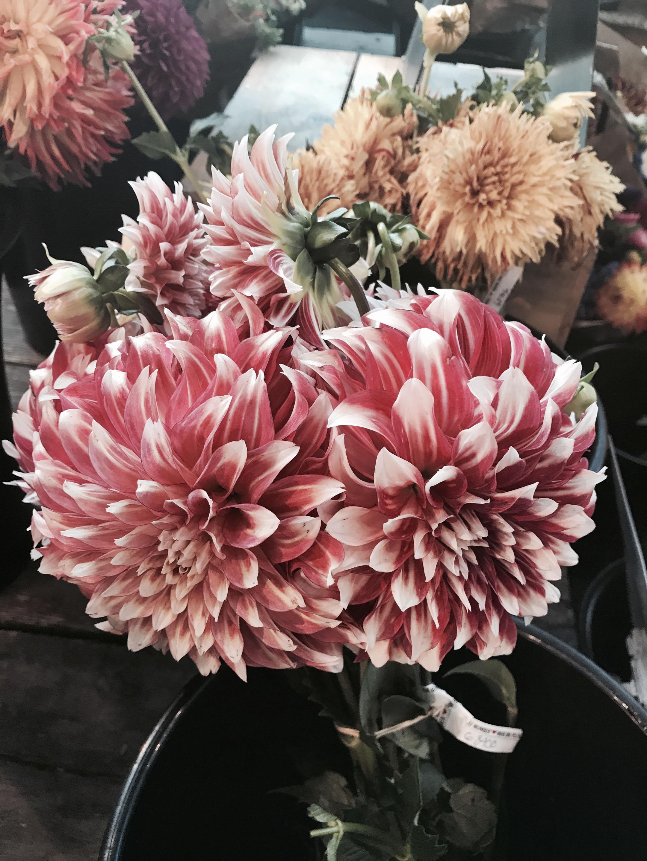 dahlias flowers 2