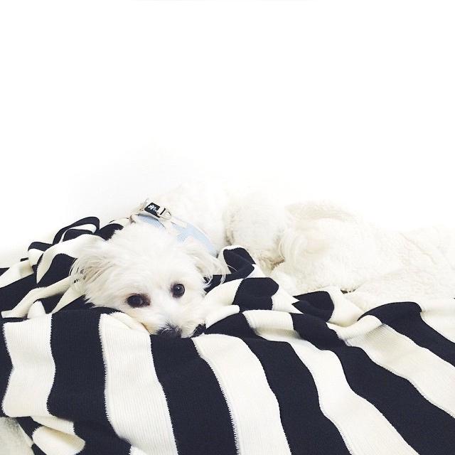 Lola westie poodle