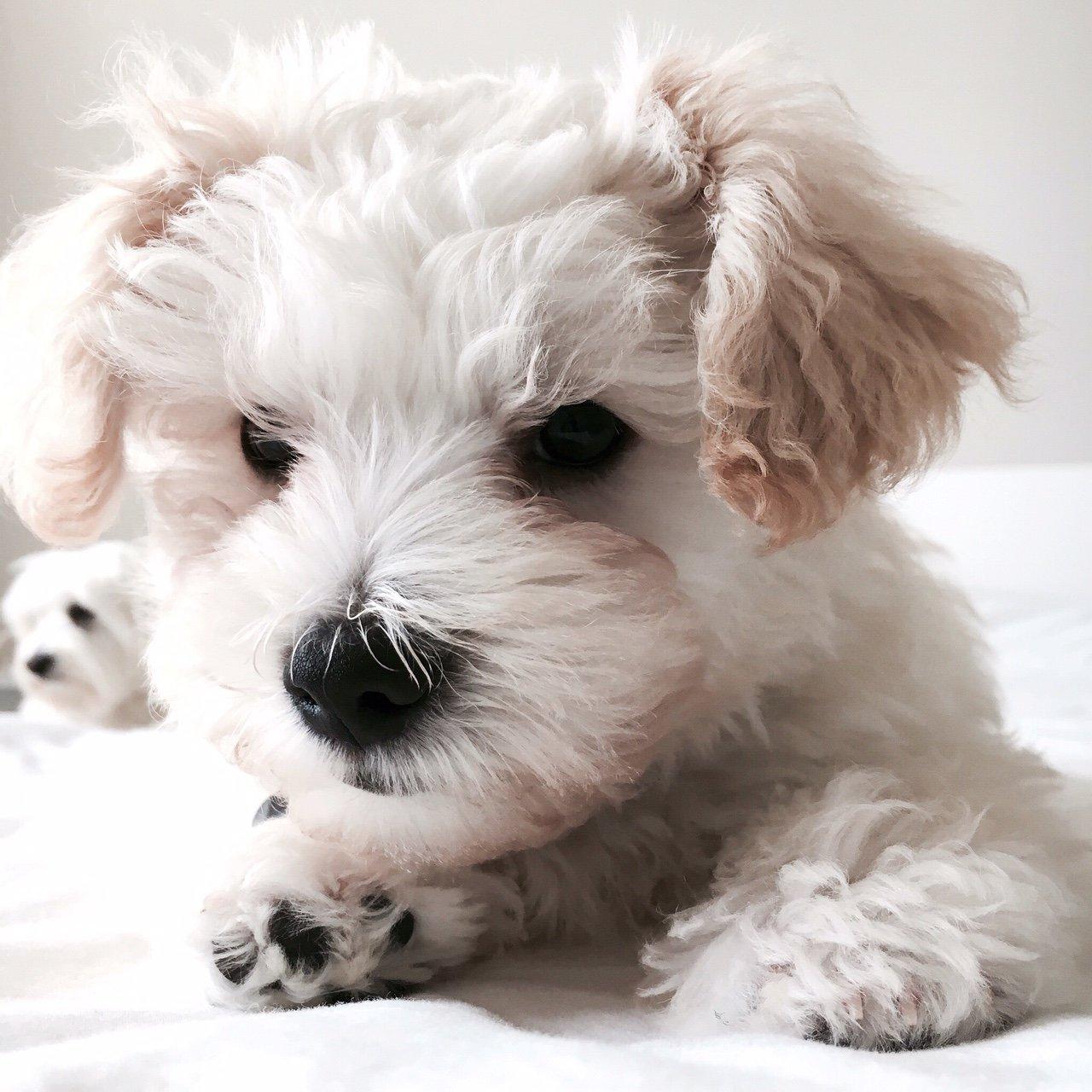 riley-terrier-poodle