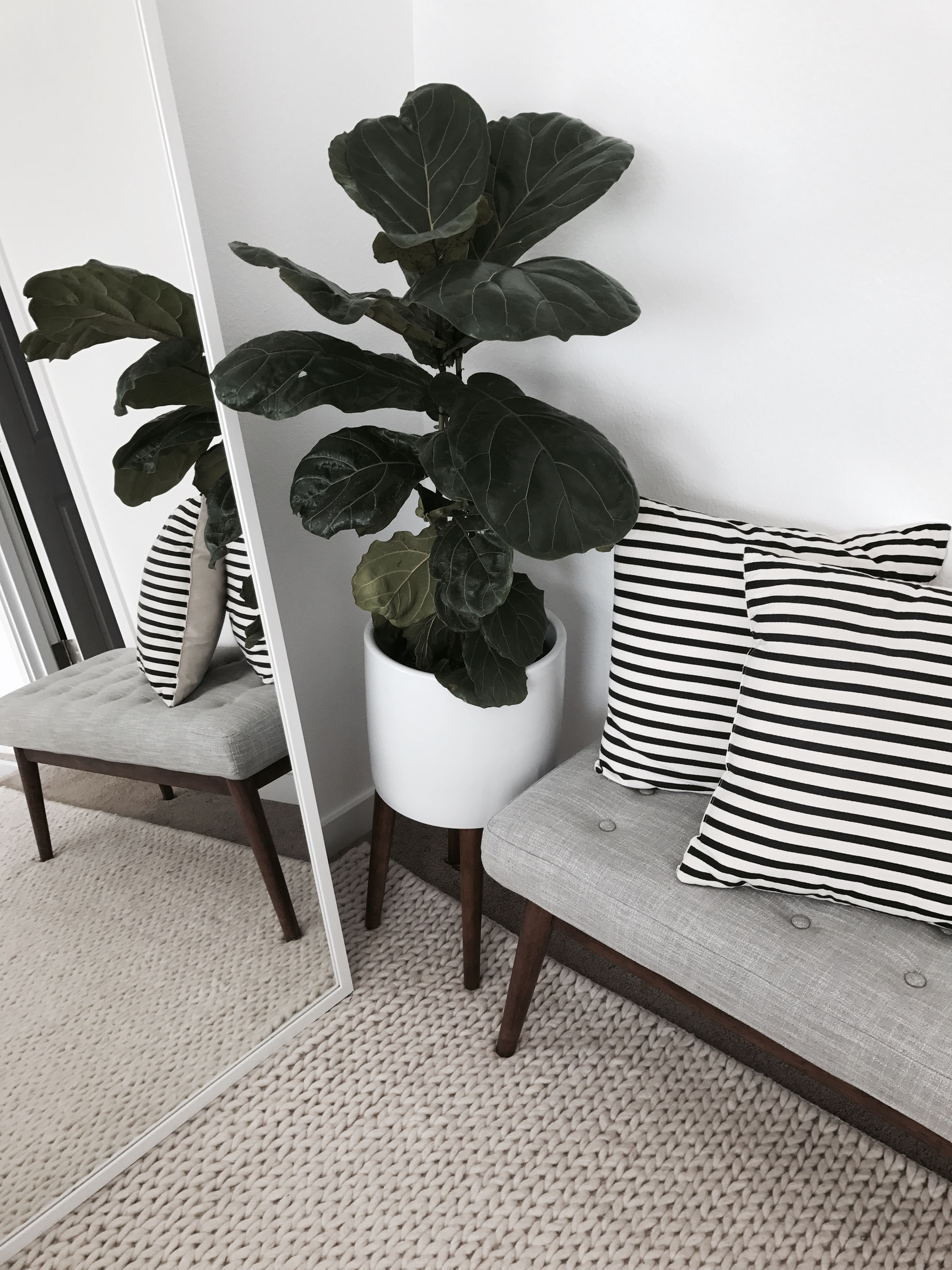 Fiddle Fig Leaf tree