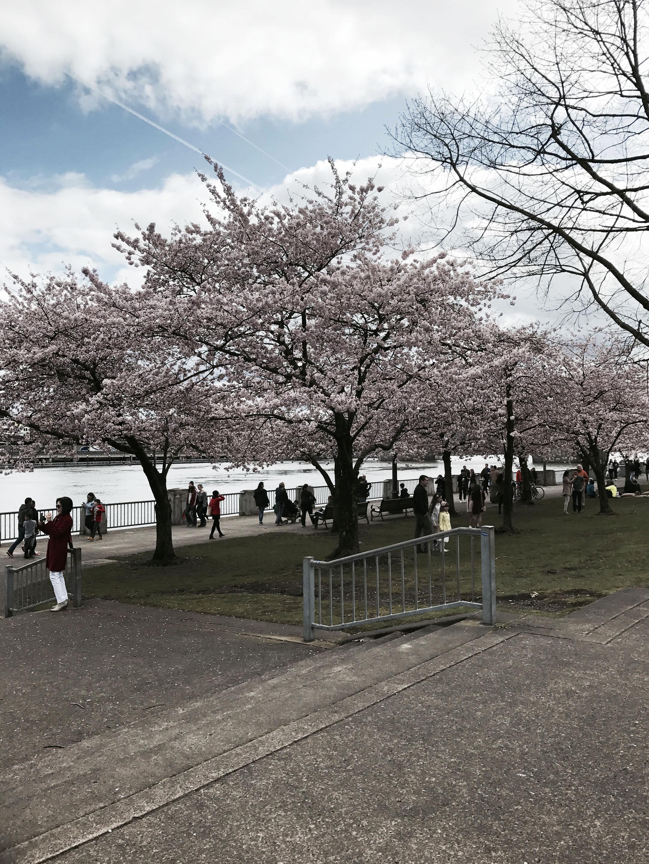 Portland Cherry Blossom trees
