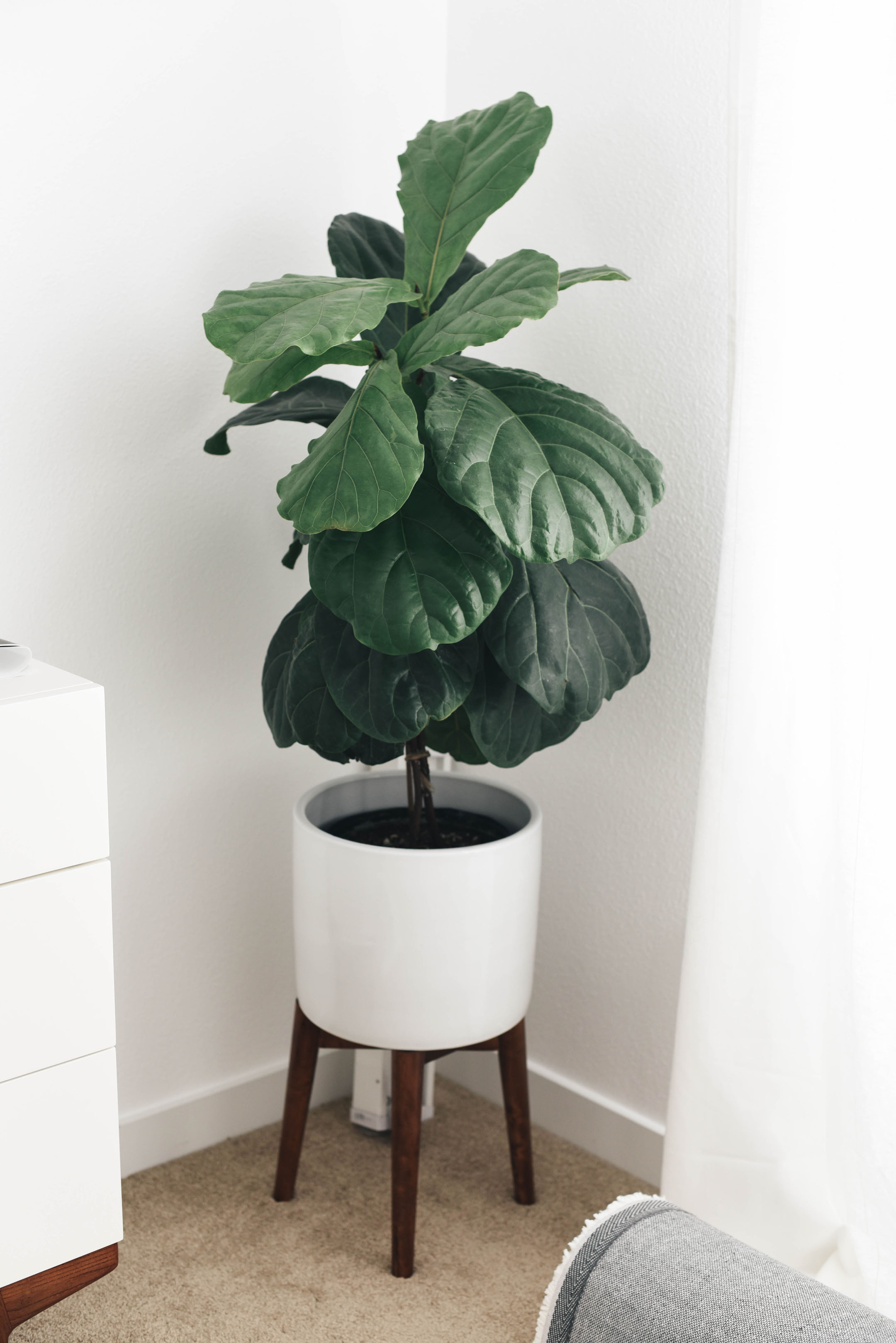 Fiddle leaf fig plant in west elm planter