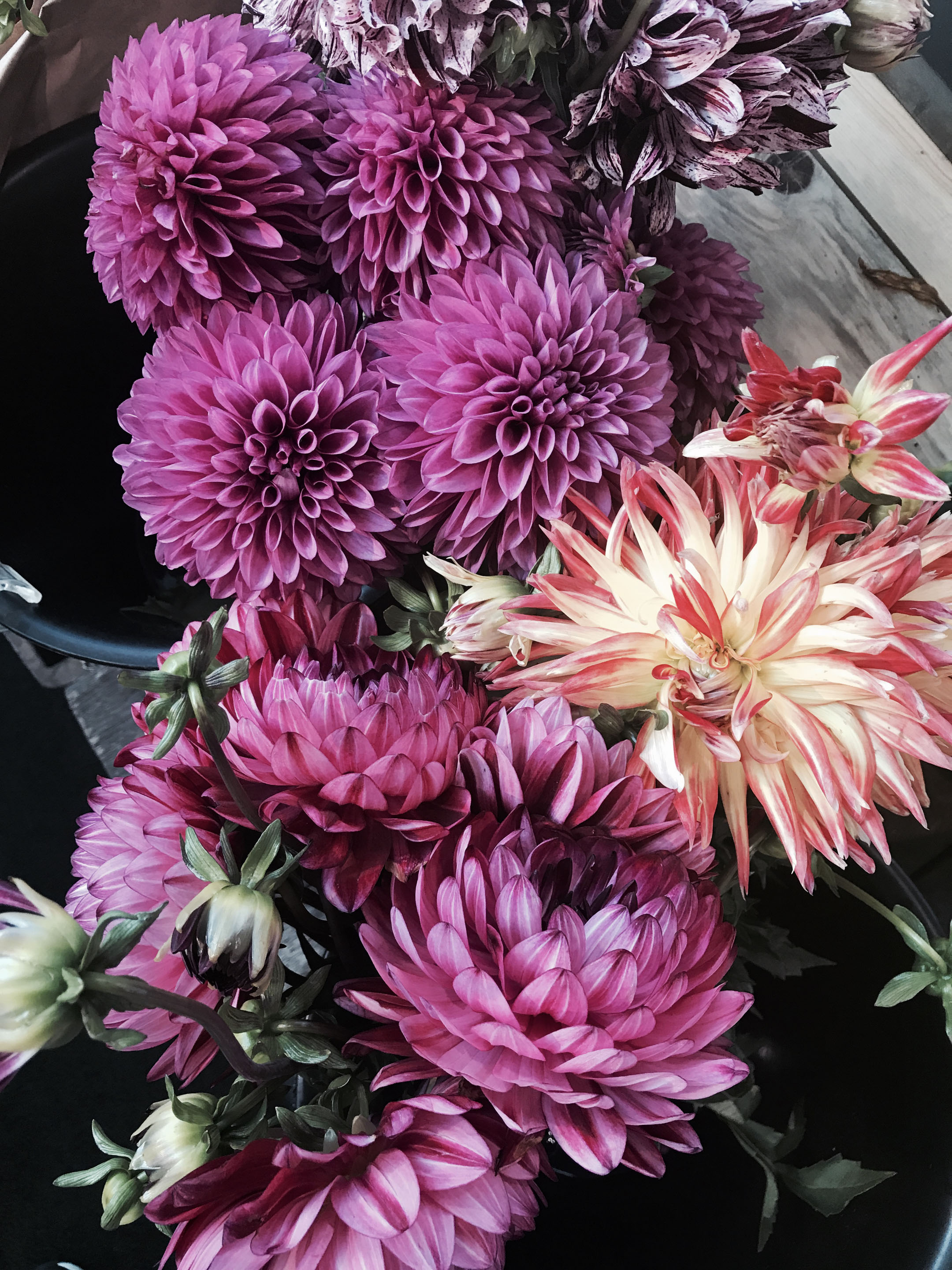 dahlias flowers