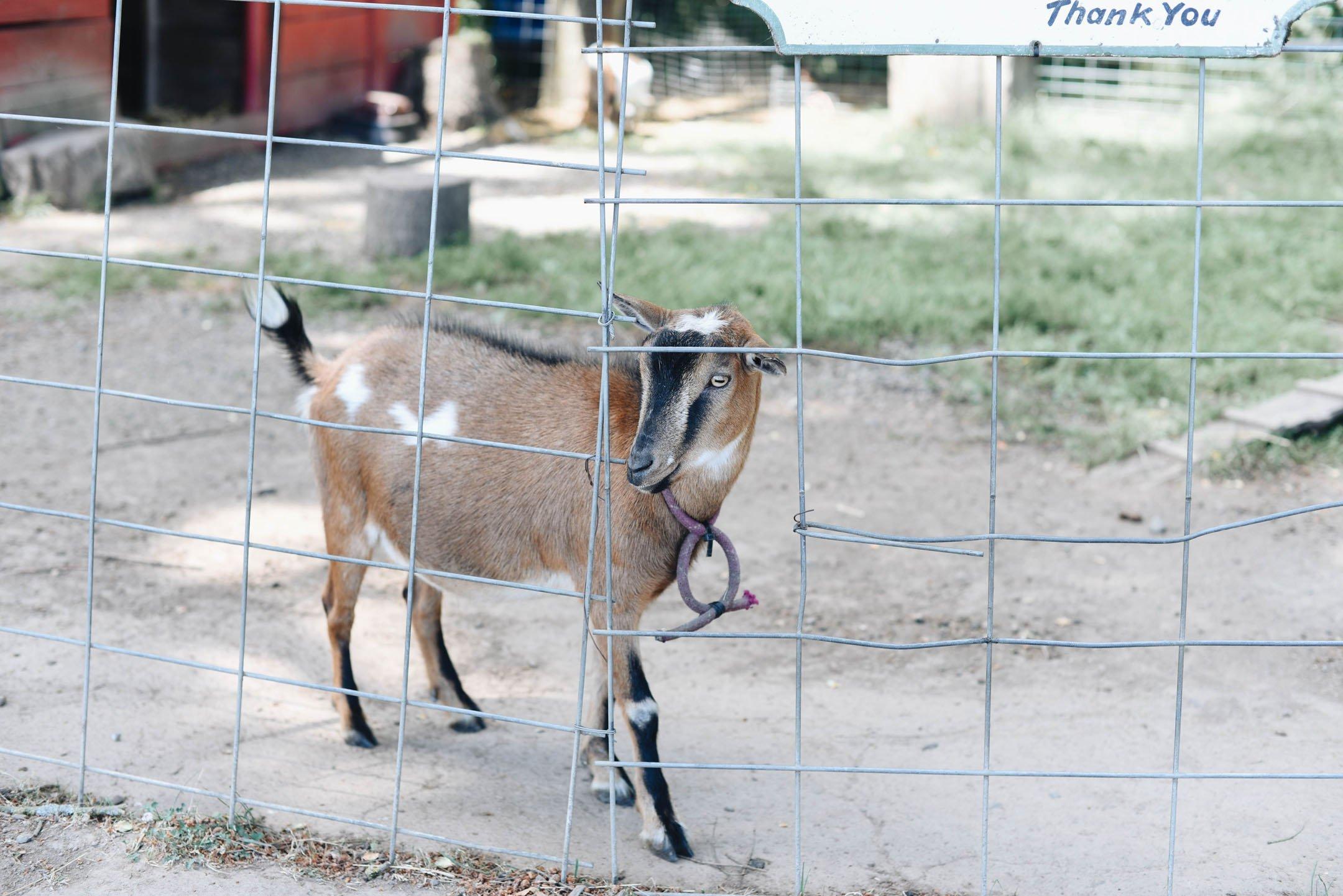 Goat farm Oregon