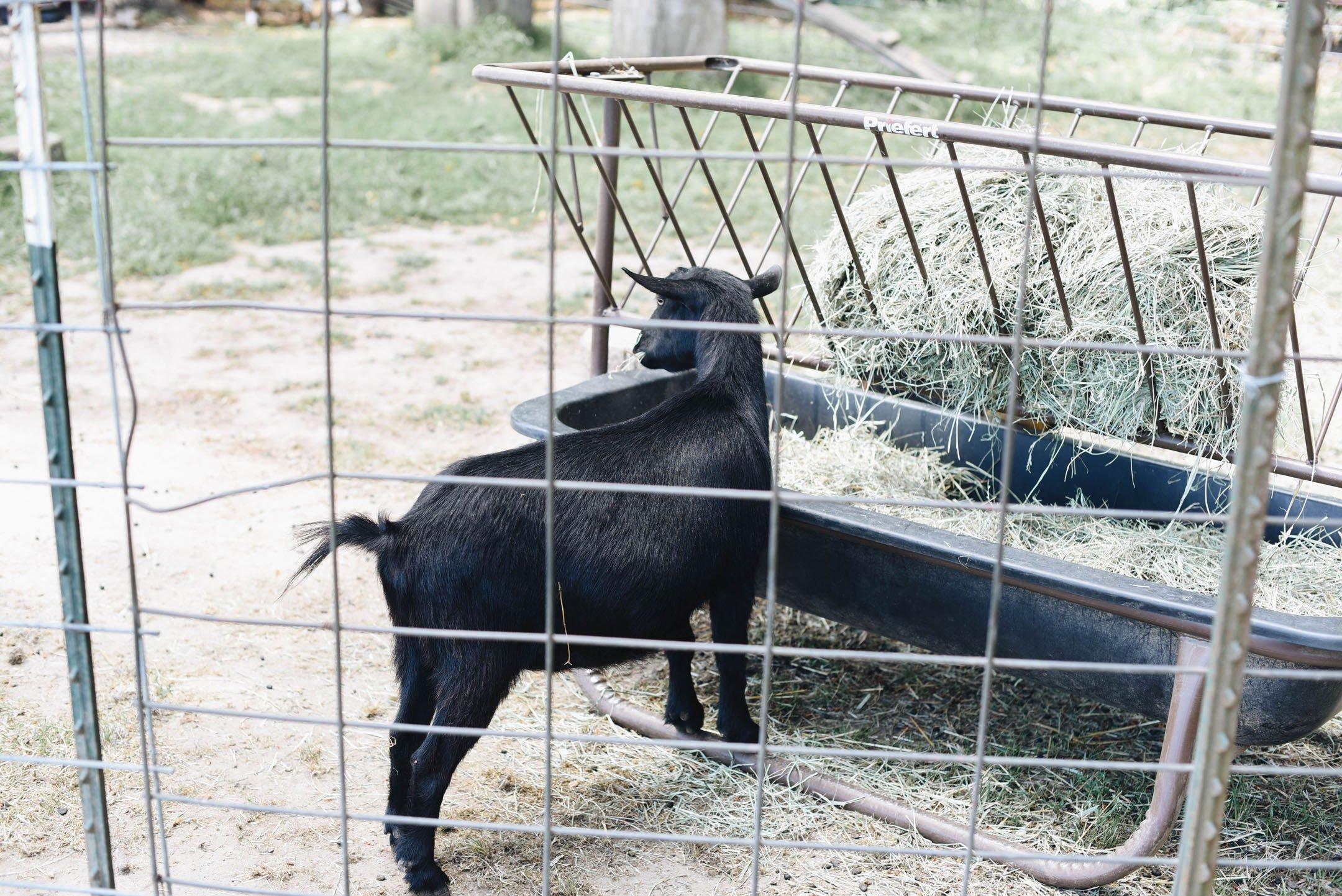 Goats at Fir Point Farms